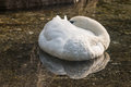 White swan sleeping on lake close up of Stock Photos
