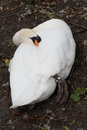 White swan sleeping in park in brugge with beak under its wing Royalty Free Stock Photos