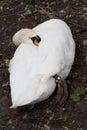 White swan sleeping in park in Brugge Royalty Free Stock Photo