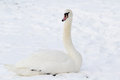 White swan in snow Royalty Free Stock Photo