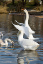 White swan spreading its wings Stock Photo
