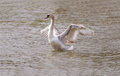 White swan spreading wings Royalty Free Stock Photos