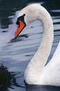 White swan swimming in timisoara zoo Stock Photo