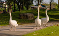 White swan three in garden Royalty Free Stock Photography
