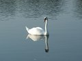 White swan on the vistula river with head up cracow poland Stock Image