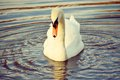 White swan on the water big bird with long necked floats in filter Royalty Free Stock Photography