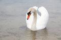 White swan on water surface. Royalty Free Stock Photo
