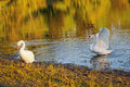 White swans Royalty Free Stock Photos