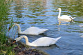 White swans are on the of the city pond three near shore Royalty Free Stock Image
