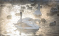 white swans, ducks on frozen lake and steam coming from the water Royalty Free Stock Photo