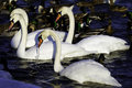 White swans and ducks gather by the icy shoreline on a cold winter s day looking for food Royalty Free Stock Images