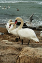White Swans On Rocks Near Ocean Royalty Free Stock Image