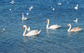 White swans and seagul on the water Stock Photo