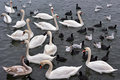 White swans, seagulls and coots Royalty Free Stock Photo