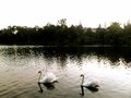 White swans in a toronto lake Stock Images
