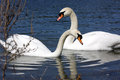 White swans two in pond Royalty Free Stock Images