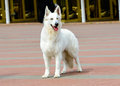 White Swiss Shepherd full face. Royalty Free Stock Photo