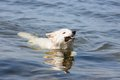 White swiss shepherd retrieving branch out of the water a Stock Images