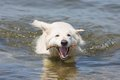 White swiss shepherd retrieving branch out of the water a Stock Photo
