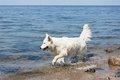 White swiss shepherd retrieving a cane out of the water branch Stock Photo