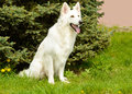 White Swiss Shepherd seats. Royalty Free Stock Photo