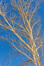White sycamore tree Royalty Free Stock Photography