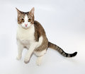 White and tabby cat standing on hind legs on gray background Royalty Free Stock Photography
