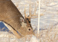 This is a white tail buck about to go under the electric wire fence Royalty Free Stock Photo