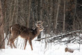 White tail buck in winter Royalty Free Stock Photography