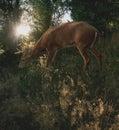 White Tail Deer Royalty Free Stock Photo