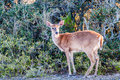 White tail deer bambi in the wild Royalty Free Stock Photo