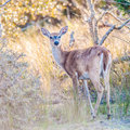 White tail deer bambi in the wild Stock Photo