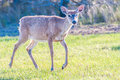 White tail deer bambi in the wild Royalty Free Stock Images