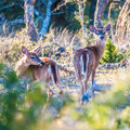 White tail deer bambi in the wild Stock Photos