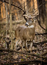 White tail deer buck an eight point tailed in the forest of ohio Royalty Free Stock Image
