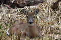 White-tail Deer Doe Stock Photo