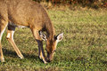 White tail deer feeding at heckscher state park long island new york Royalty Free Stock Photography