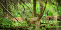 White tail deer a heard of tailed standing alert in the woods Stock Images
