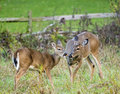White tail deer a mother doe tailed watches her young fawn eat an ear of corn in a field Royalty Free Stock Photography