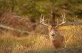White tail deer staying low during hunting season. 4/5 Royalty Free Stock Photo