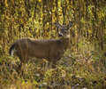 White tail deer a tailed buck standing alert in the woods Stock Photo