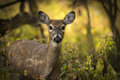 White tail deer a tailed doe standing alert in the woods autumn colors back lit by the sun make up a beautiful background Royalty Free Stock Photography