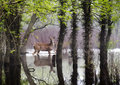 White tail deer wander carefully through harsh flooding conditions these flooded of this misty early morning wildlife park area in Stock Images