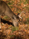 White-tailed buck Royalty Free Stock Photography