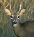 White Tailed Buck Stock Photography