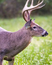 White-tailed Buck Dining on Grass Royalty Free Stock Photo