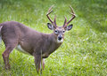 White-tailed Buck on the  Prowl Royalty Free Stock Photo