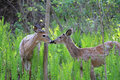 White-tailed Buck Royalty Free Stock Photo