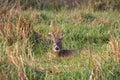 White-tailed Deer Buck Stock Image