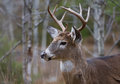 White-tailed deer buck portrait in autumn Royalty Free Stock Photo